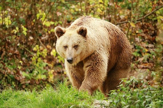 Condamnation de l'Etat pour méconnaissance de ses obligations de protection de la population des ours