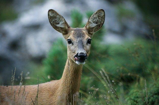 Chasse : nouvelle procédure de retrait pour convictions personnelles opposées à la pratique de la chasse